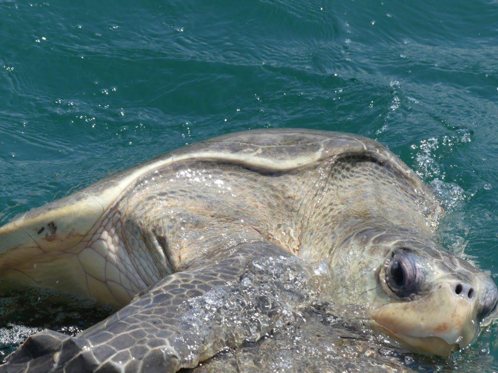 mating-turtles-on-the-way-to-las-gatos-beach